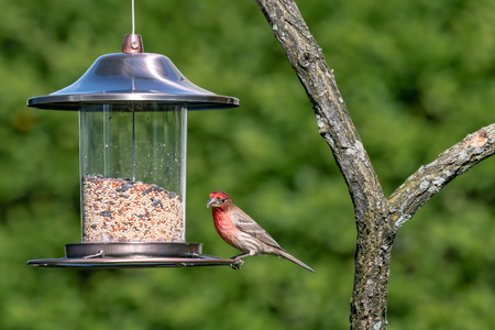 House Finch. House Finch bird balancing on a hanging bird feeder