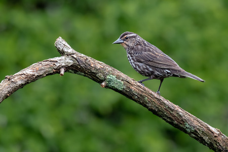 The mistle thrush (Turdus viscivorus) sitting on the branch Zdjęcie Seryjne