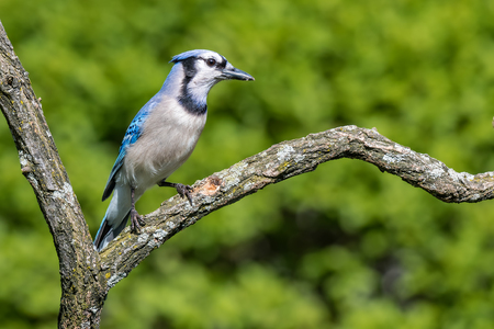 Blue Jay, Cyanocitta Cristata, perched on a mossy branch
