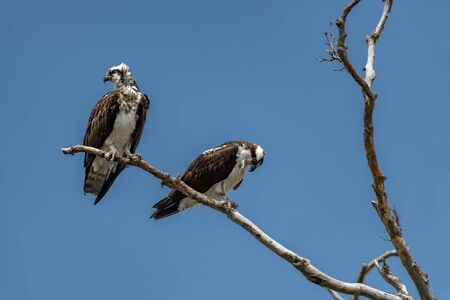 Two Osprey Perched on Tree against Blue Sky
