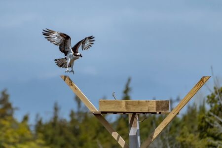 Osprey with open wings building a twig nest on a nesting platform