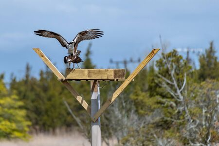 Couple of male and female ospreys with open wings building their twig nest on a nest platform Zdjęcie Seryjne