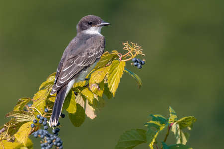 An Eastern Kingbird is perched on a bare branch