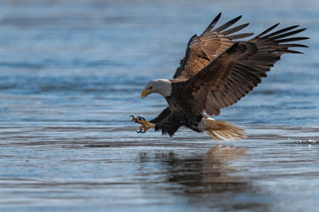 American bald eagle swooping down to grab a fish in conowingo dam Stock Photo