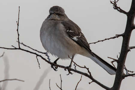 Northern mockingbird fluffed up during a chilly spring morning Stock Photo