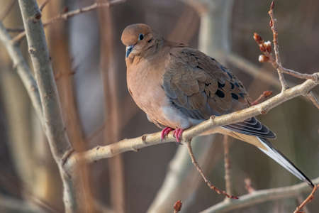 A morning dove sitting on a branch in a tree looking out in the world