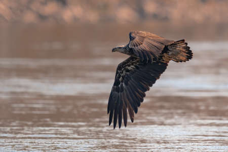 Juvenile Bald Eagle Flying in the Blue Sky over the Susquehanna River Stock Photo