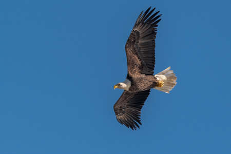 Bald Eagle Flying over the Susquehanna River