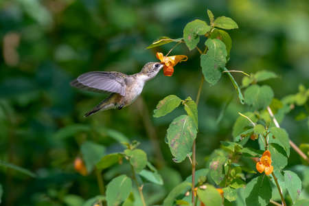 A Beautiful Ruby Throated Hummingbird feeding on a Wild Flower Stock Photo
