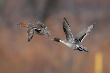 Northern Pintail pair in flight over wetland habitat