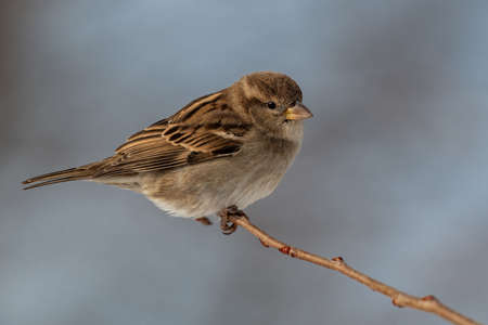American tree sparrow perched nicely on a branch
