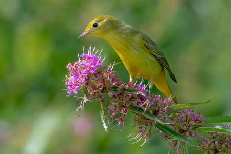 Yellow Warbler perched on a branch during spring migration