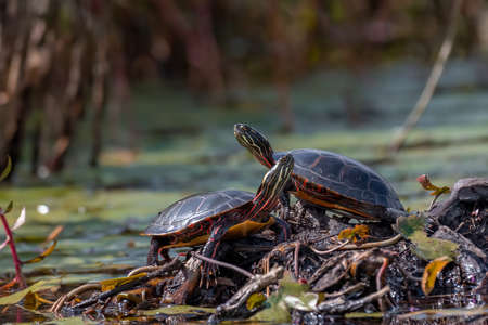 Midland Painted Turtle basking on a rock surrounded by green aquatic vegetation.