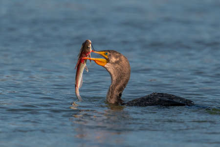 Double-crested Cormorant with Fish in Susquehanna River Stock Photo