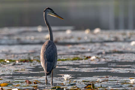 The Grey heron standing in the shallow water Stock Photo
