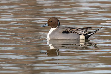 Northern pintail, Anas acuta, single male on water