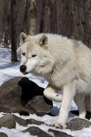 lupus: Arctic Wolf (Canis lupus arctos) in snow Stock Photo