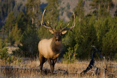 Bull elk in Yellowstone facing camera in morning light