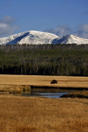 Bison in meadow in front of snow covered mountains in Yellowstone National Park, Wyoming