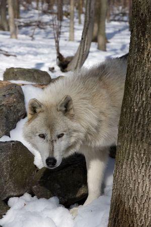 arctos: Arctic Wolf (Canis lupus arctos) in snow Stock Photo
