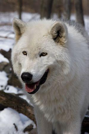 arctos: Arctic Wolf (Canis lupus arctos) nella neve