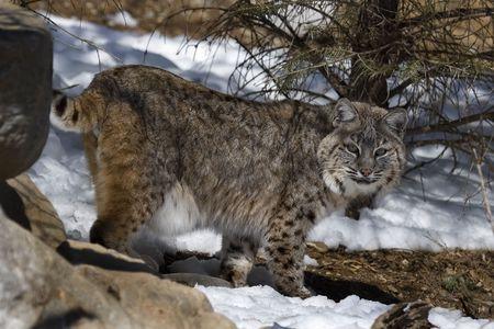 bobcat: Gato mont�s (Felis rufus) caminar en la nieve