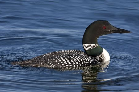 gavia: Side view of Common Loon (Gavia immer).  Light shows off red eye and green collar Stock Photo