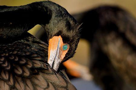 Double-crested Cormorant (Phalacrocorax carbo) preening Stock Photo - 4723136