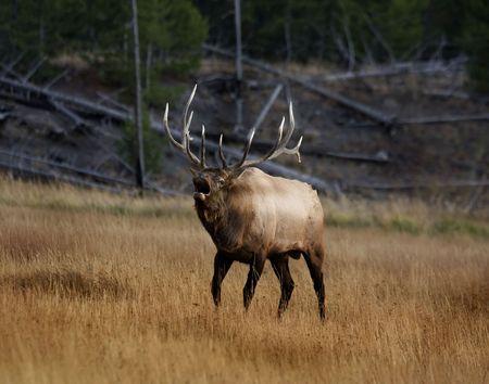 alce: Elk bugling nel Parco Nazionale di Yellowstone