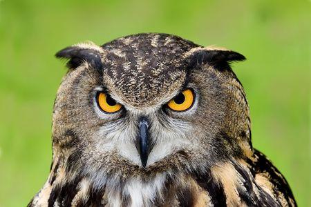 European Eagle Owl (Bubo bubo)