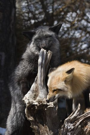 silver fox: Red Fox with silver fox (Vulpes vulpes) Stock Photo
