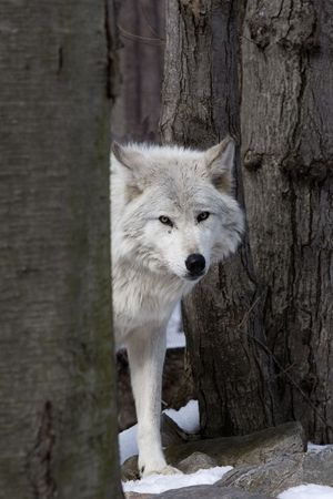 on gray: Timber Wolf (Canis lupus lycaon) looking around trees