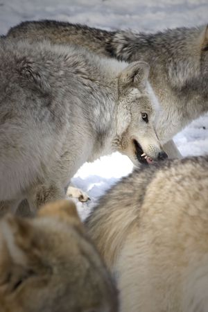 lupus: Timber Wolf (Canis lupus lycaon) growling in snow