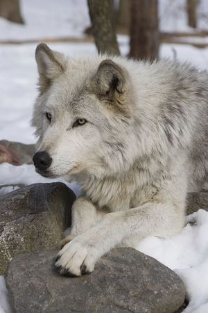 Timber Wolf (Canis lupus lycaon) lying in snow