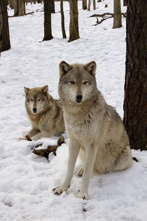 Timber Wolf (Canis lupus lycaon) pair in snow 스톡 콘텐츠