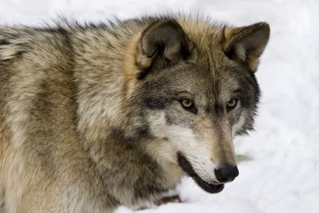 Timber Wolf (Canis lupus lycaon) in snow