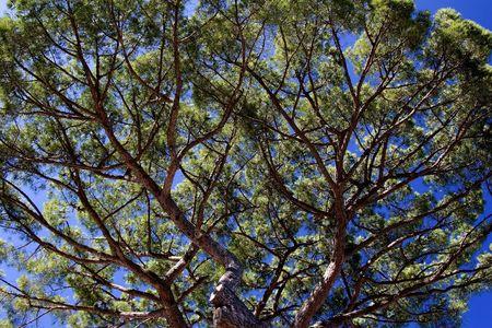 イタリアのアマルフィ海岸沿いの傘の松を見上げてください。 写真素材