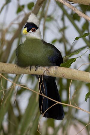 White-crested Turaco on tree branch Stock Photo