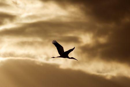 Wood Stork (Mycteria americana) flying at sunrise
