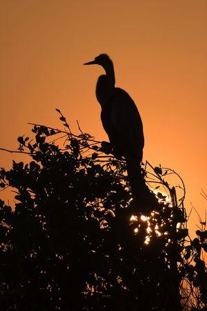 Anhinga (Anhinga anhinga) at sunrise in Everglades with sun rising behind photo