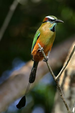 Turquoise-browed Motmot (Eumomota superciliosa) Stock Photo - 4723105