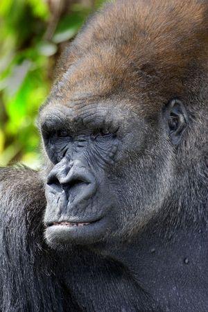 western lowland gorilla: Western Lowland Gorilla (Gorilla gorilla gorilla) - ritratto Archivio Fotografico