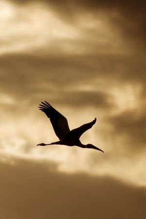 Wood Stork (Mycteria americana) flying at sunrise (vertical shot) photo