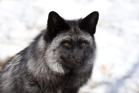 silver fox: Silver Fox (Vulpes vulpes) - Silver phase of red fox Stock Photo