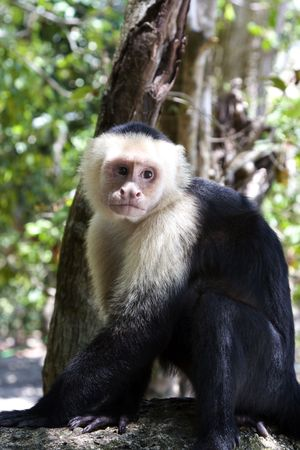Capuchin Monkey in Manuel Antonio National Park, Costa Rica Stock Photo