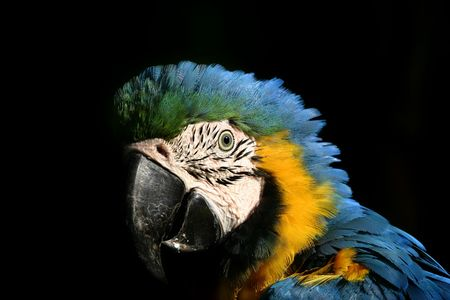 portrait of Blue Gold Macaw with black background