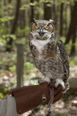 Great Horned Owl sitting on gloved hand of handler