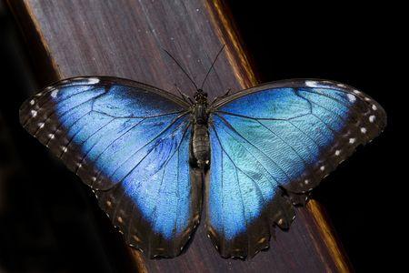 morpho: Blue Morpho Butterfly (Morpho peleides)