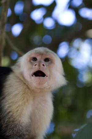 Capuchin Monkey (Cebus capucinus) in Mauel Antonio National Park, Costa Rica