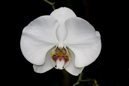 Single white orchid against black background